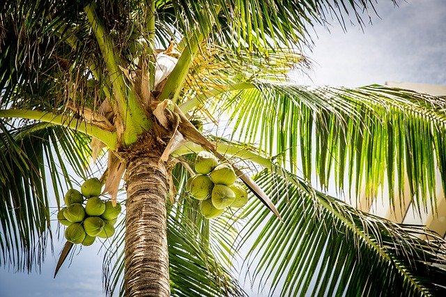 kokosové ořechy na palmě